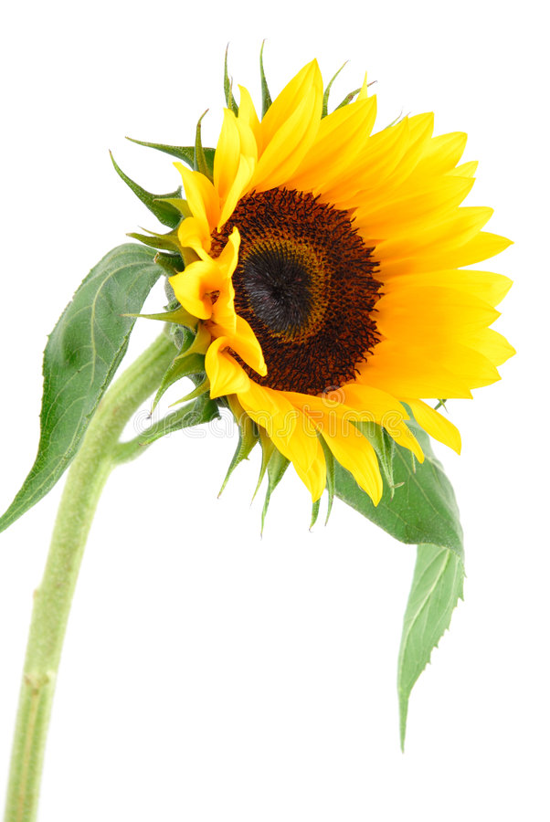 Sun Flower Collection Stock Images