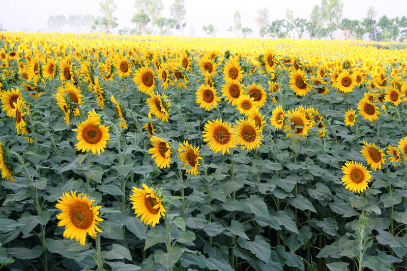 Sun flower cultivation, North India stock photography