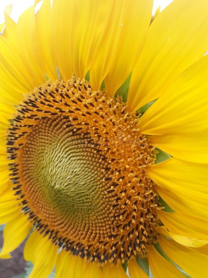 Sun Flower. royalty free stock image