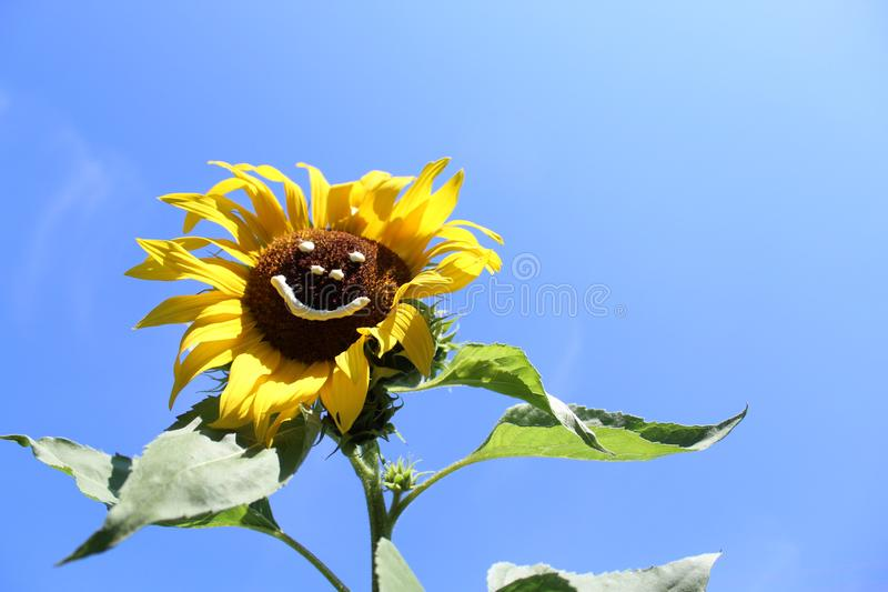Sun flower with a funny face. The picture shows a sun flower with a funny face royalty free stock images