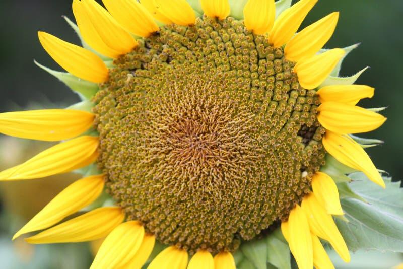 Sun Flower i Indien Bangalore arkivbilder