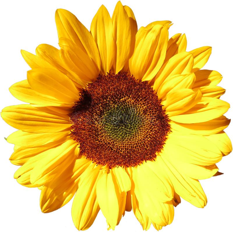 Free Sun Flower On Transparent Background In The Additional Png File Stock Image - 129371261