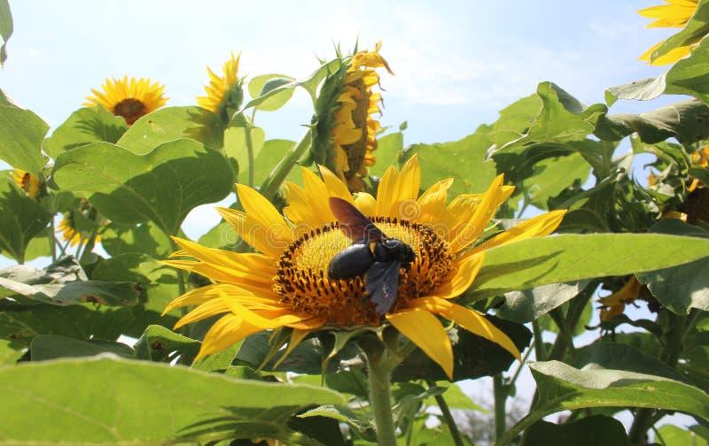 Sun Flower Rises stock photo