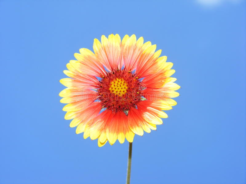 Sun flower spring royalty free stock photography
