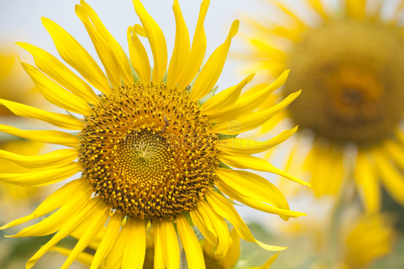 Sun flower with worm stock photos