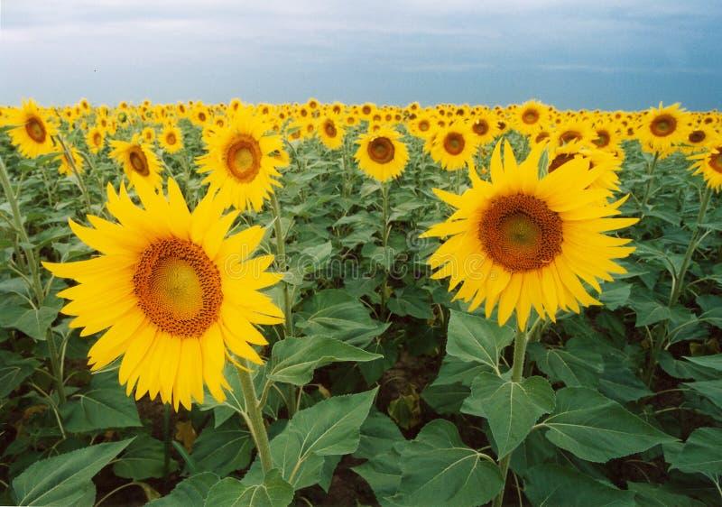 Sun flowers stock photos