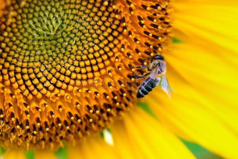 Sun-flowers fotos de stock royalty free