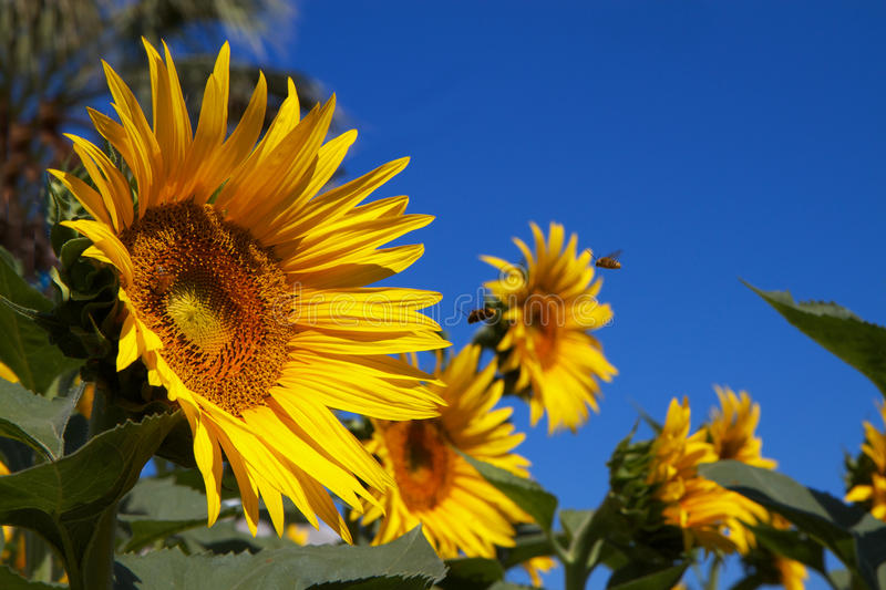 Sun Flowers blue Sky Bees royalty free stock photo