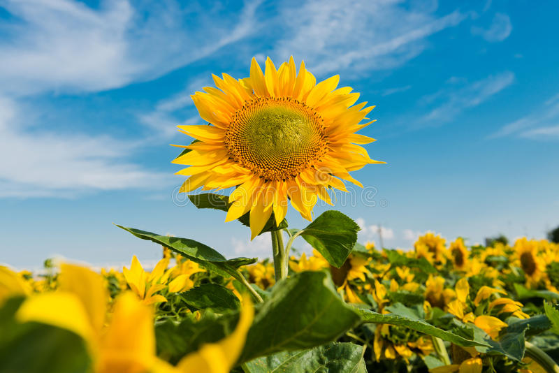 Sun flowers field stock image