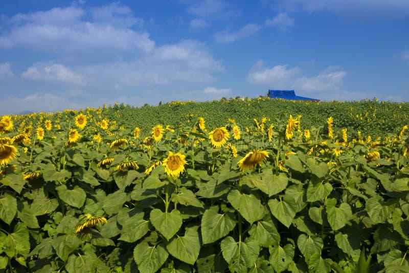 Sun flowers royalty free stock image