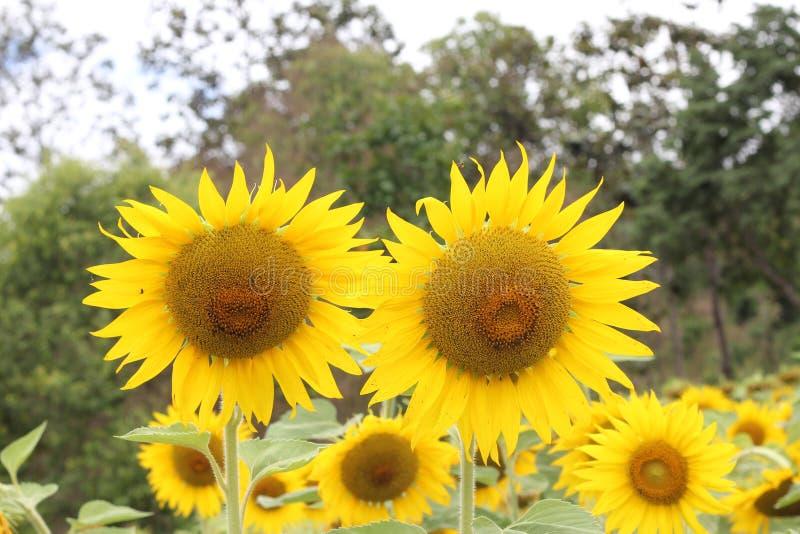 Sun flowers stock photography