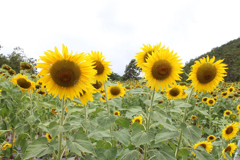 Sun flowers. Nature background walpaper royalty free stock photography