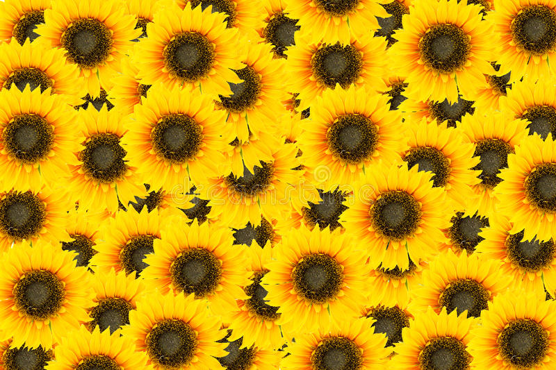 Sun flowers tiles. For background royalty free stock image