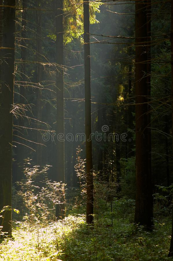 Sun in foresta fotografie stock