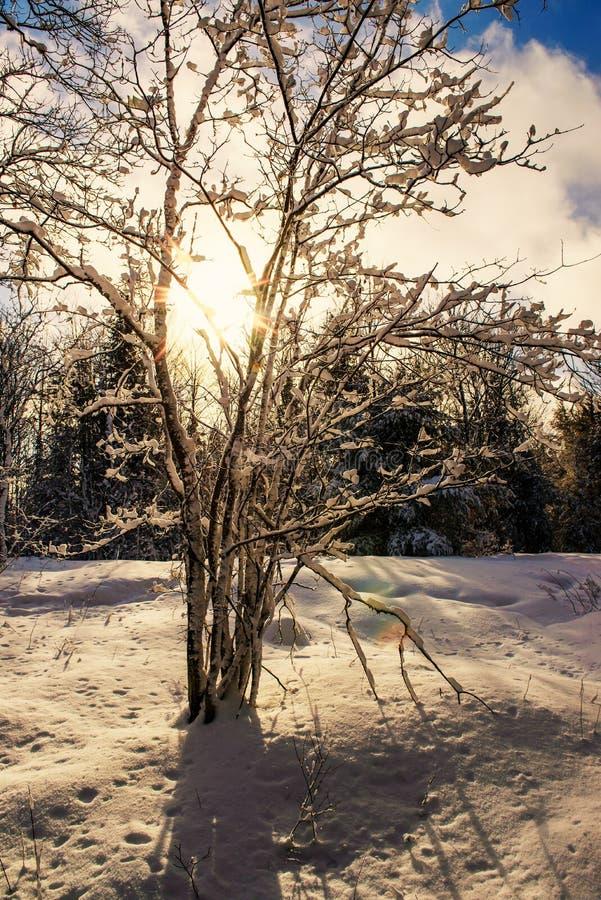 Sun-Glanz durch einen Schnee bedeckte Baum lizenzfreies stockfoto