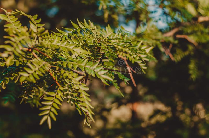 A branch of prickly wild acacia in hard sunlight. Soft focus. Brown-green background. Shooting at eye level. stock photography