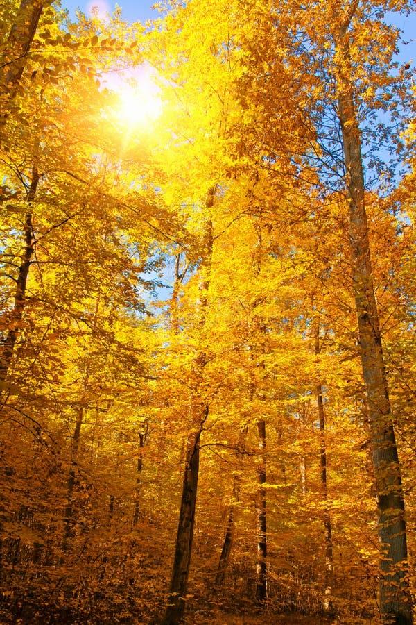 Sun im Herbstwald stockbild