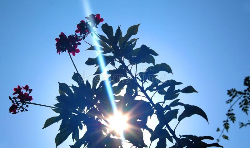 Sun irradia la visión a través de las flores picantes del Jatropha con las hojas foto de archivo libre de regalías