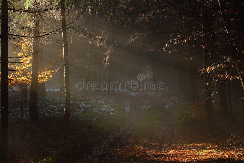 Sun irradia na paisagem escura da floresta fotografia de stock royalty free