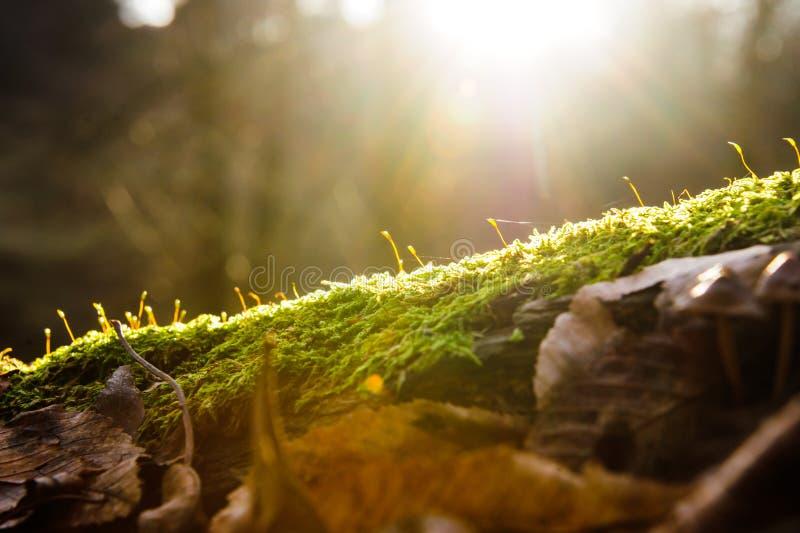 Sun irradia no musgo verde na perspectiva da floresta, efeito da luz instantâneo imagens de stock royalty free