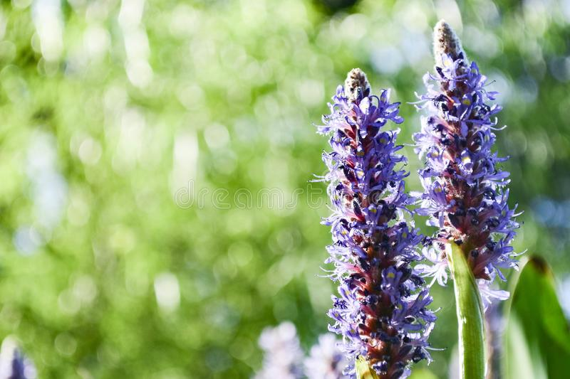 Purple Pickerelweed Blooms stock images