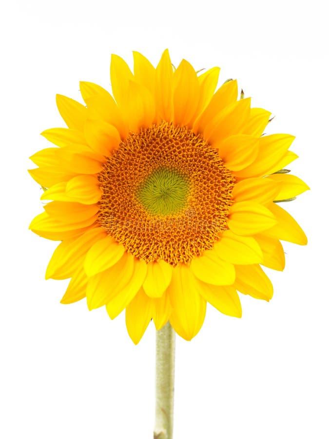 Sun kwiat obraz stock