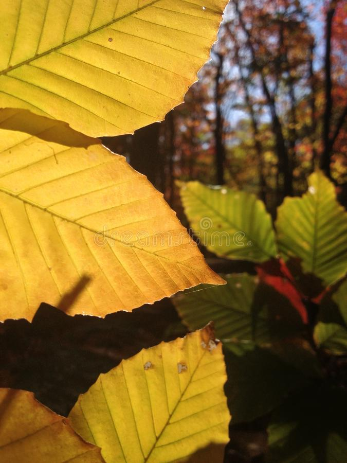 Sun through leaves royalty free stock photography