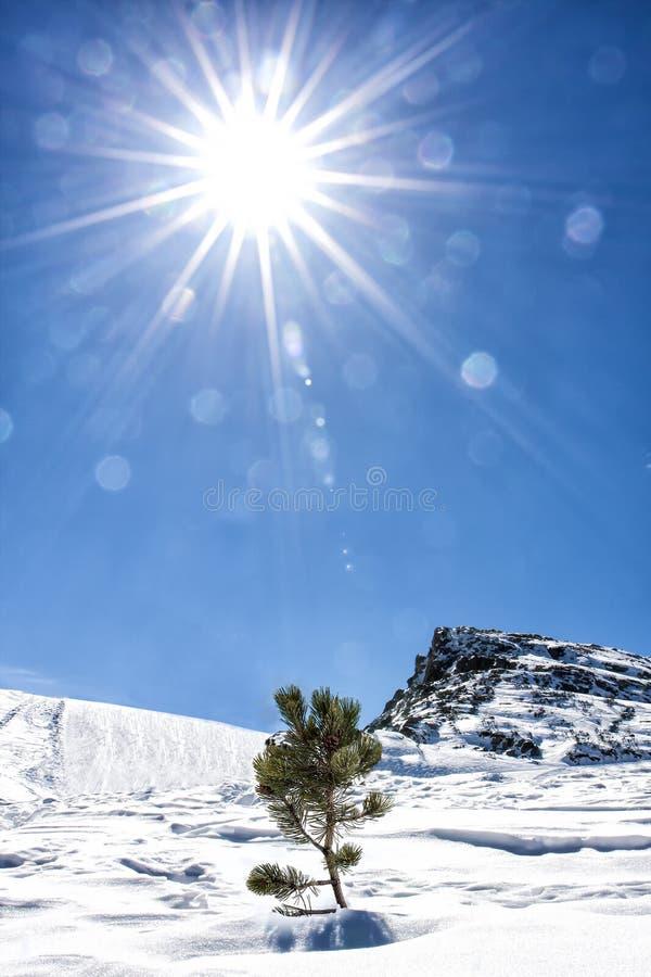 Sun-Leben-Natur-Schnee-Berg wenig Tannen-Baum einsam stockfotografie