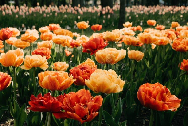 Sun-Liebhaber-Tulpenvielzahl Große, sonnige gelb-orangee Tulpen mit vielen gekräuselten Blumenblättern Bunte Tulpen im Blumengart lizenzfreie stockfotos