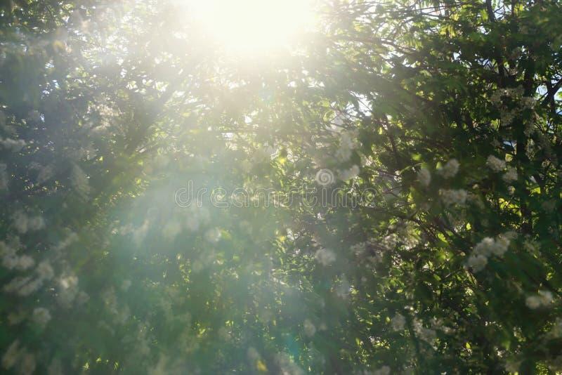 Sun light behind beautiful branches of flowering tree. Sun light behind beautiful branches of flowering bird-cherry tree stock photography