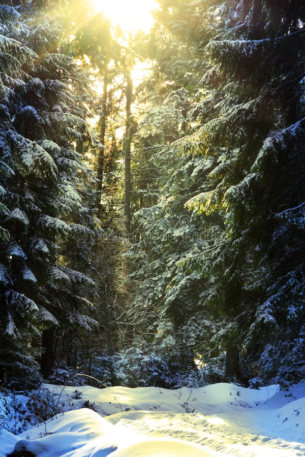 Download Sun Light Coming Down During Winter Into The Forest Stock Image - Image: 28780121