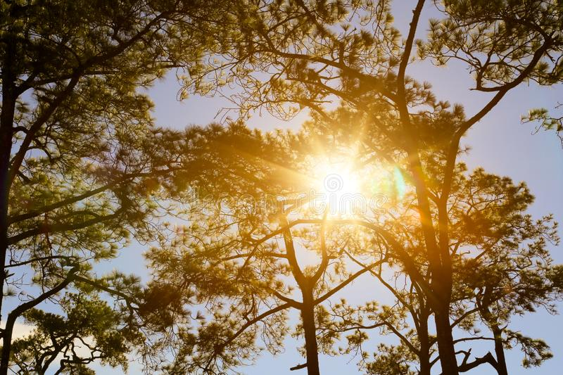 Sun light Shines through beautiful trees.Pine trees in the forest royalty free stock image