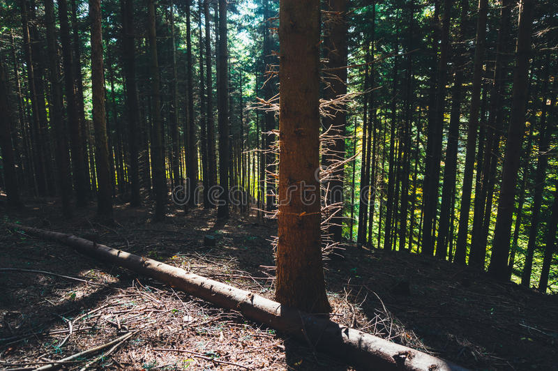 Sun lighted trees. Sunn lighted forest trees in autumn stock images