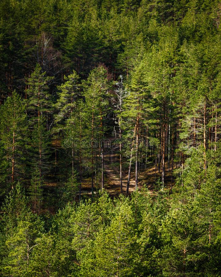Sun-lit forest with forest path. View from above to the pine forest, sun-lit forest with forest path; Beautiful view from the top to the amazingly green forest royalty free stock images