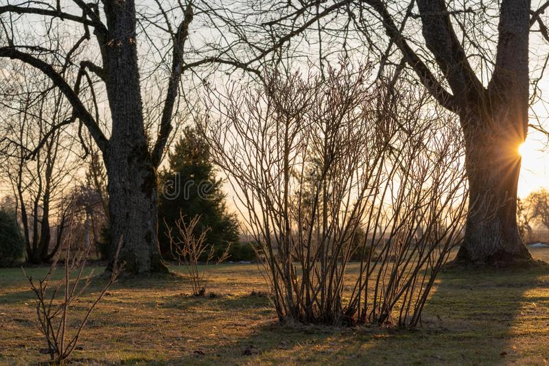 Sun-lit garden in the golden hour of spring. Two large linden trees without leaves, roses in the foreground stock image