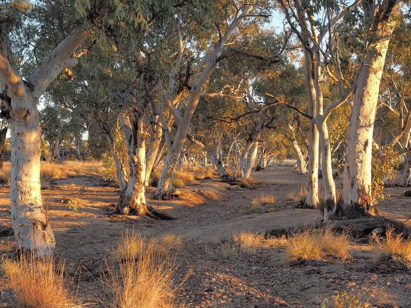 Sun lit Gum trees in the dry Roe creek river bed. Gum trees in the dry Roe creek river bed in the late afternoon McDonnell Ranges, Alice Springs, Australia, June royalty free stock image