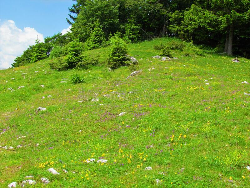 Sun lit meadow full of purple and yellow flowers. And a spruce Picea abies forest in the back in Gorenjska region of Slovenia royalty free stock photography