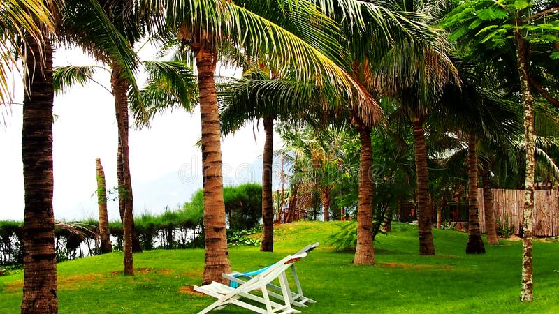 Sun loungers under tall palm. sunbeds under palm trees on the green grass in Vietnam. Sun loungers under palm trees on the green grass in Vietnam.  sun loungers stock images