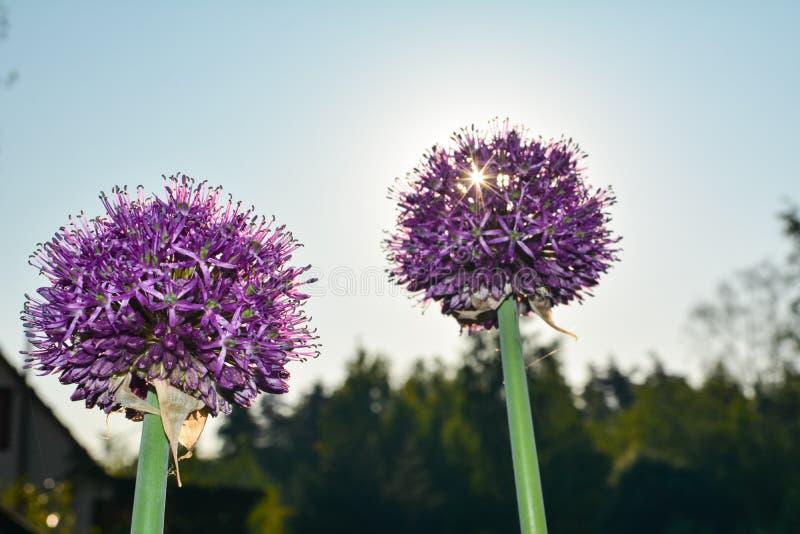 Sun ocultó detrás de las flores de la cebolla fotos de archivo libres de regalías