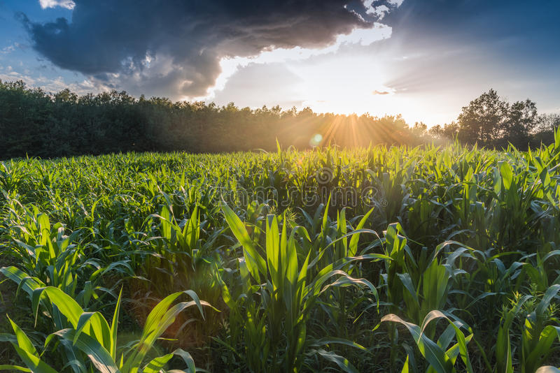 Sun over corn field. Sun shining over through the clouds over a corn field royalty free stock photo