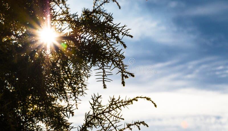 Sun par les branches du genévrier photos stock