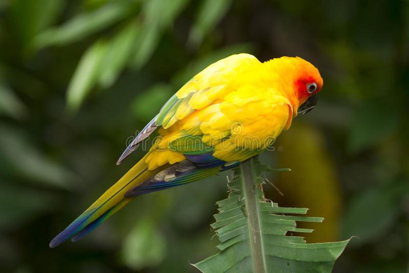Sun Parakeet stock photography