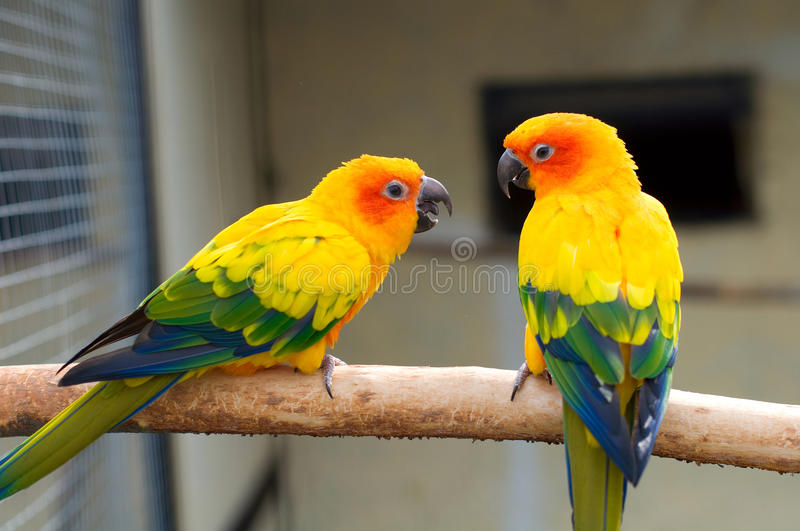 Sun Parakeet. Aratinga solstitialis stock photos