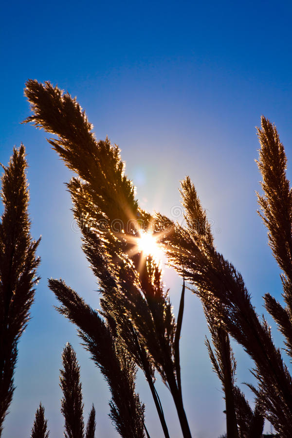 Sun Passing Through The Grass Royalty Free Stock Photography