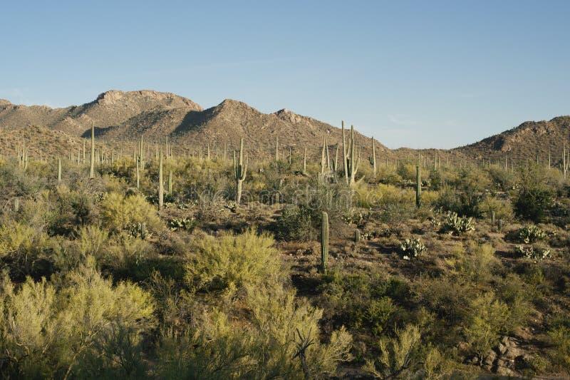 The Sun plaatst op Saguaro-Bos stock afbeelding
