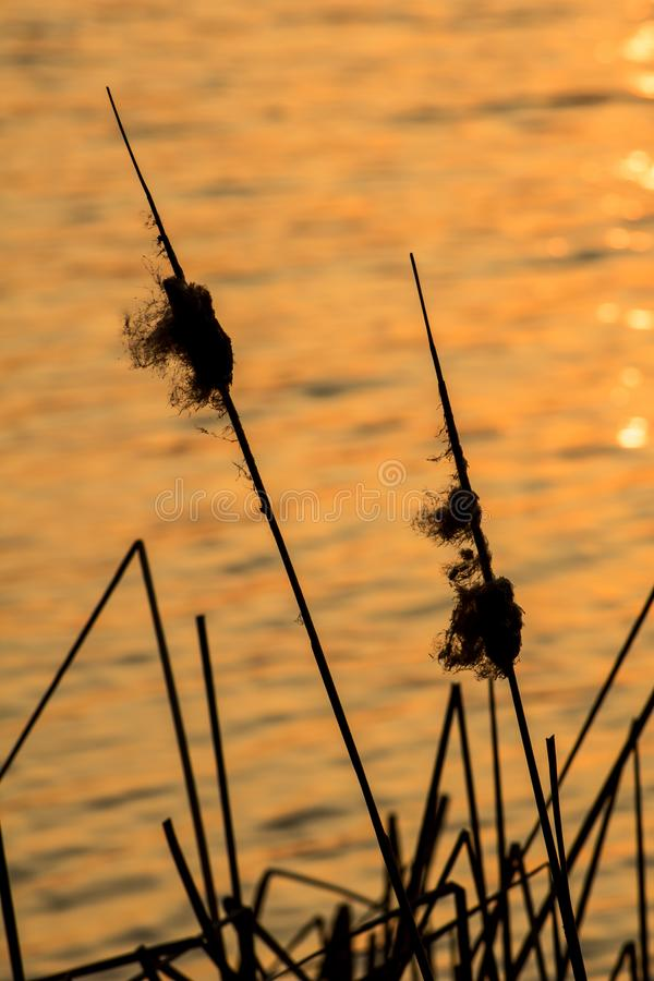 Shoreline Plants At Island Lake Conservation Area. The sun pops over the treeline at sunrise at the eastern end of Island Lake Conservation Area in Orangeville royalty free stock photography