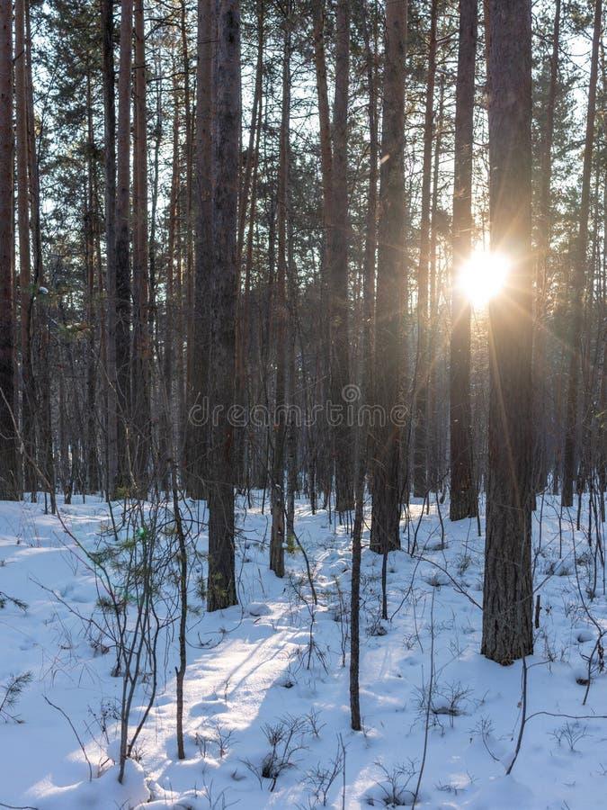 The Sun promienie przechodzą przez drzew w zima lesie zdjęcia royalty free
