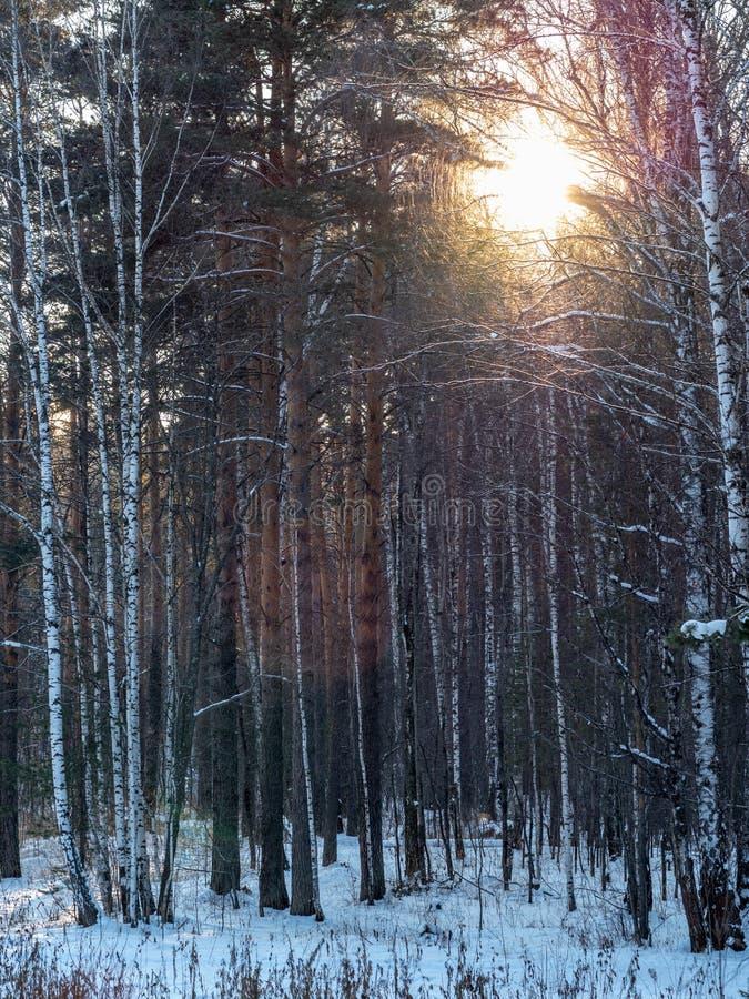The Sun przez bagażników brzozy i sosny w zima lesie fotografia stock