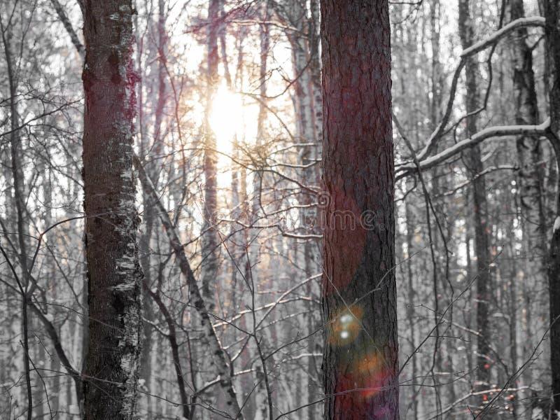 The Sun przez bagażników brzozy i sosny w zima lesie zdjęcie stock