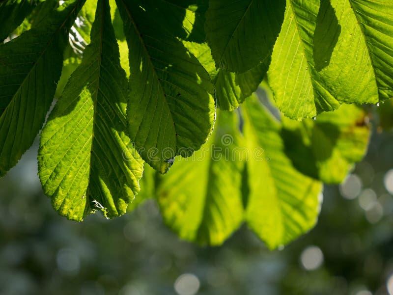 Sun que brilha através da árvore de castanha do cavalo sae no verão imagem de stock royalty free